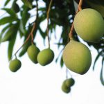 green mangoes 150x150 100 Words: Indian Summers